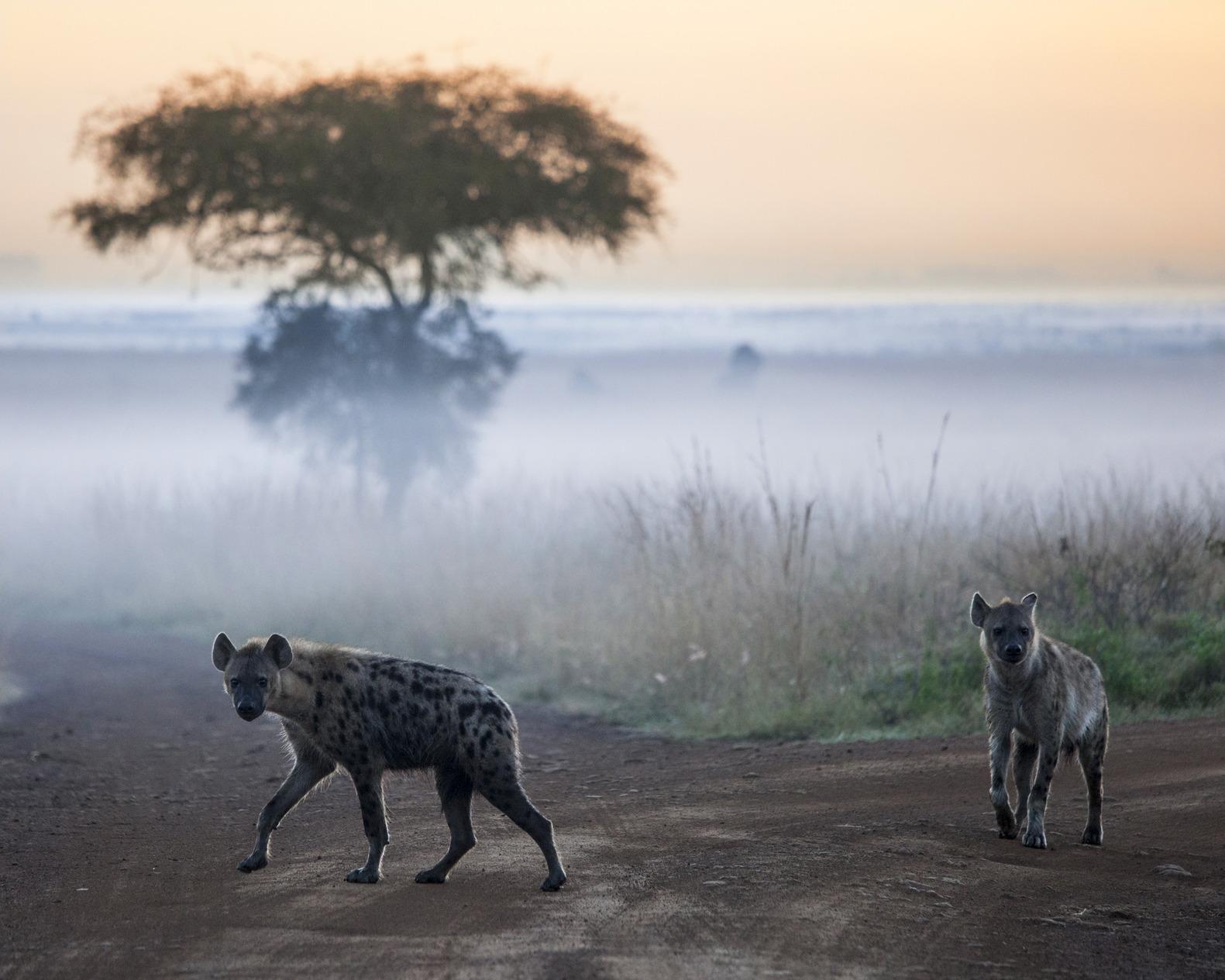 hyenas before dawn in the fog, Nairobi National Park