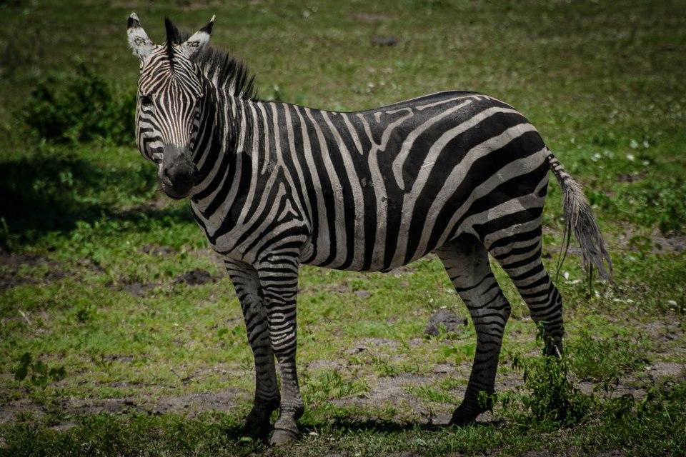 zebra tarangire