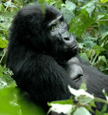 Mountain Gorilla day tour