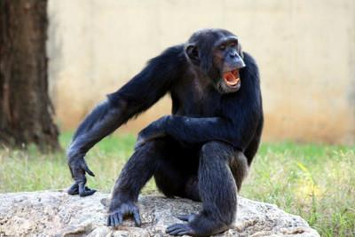 chimpanzee-yawning